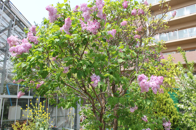 薄紫色のライラックの花がとても良い香りを放っています。