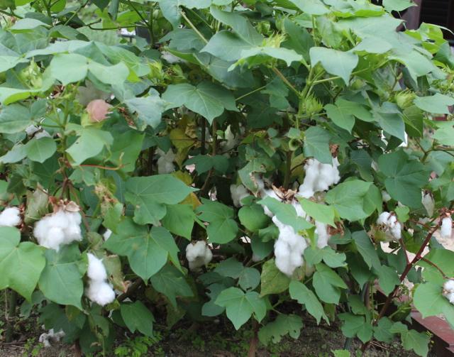 綿の実がたくさん成っています。
