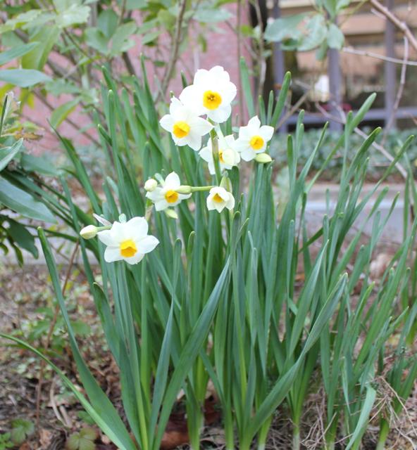 スイセンが咲き始めました。