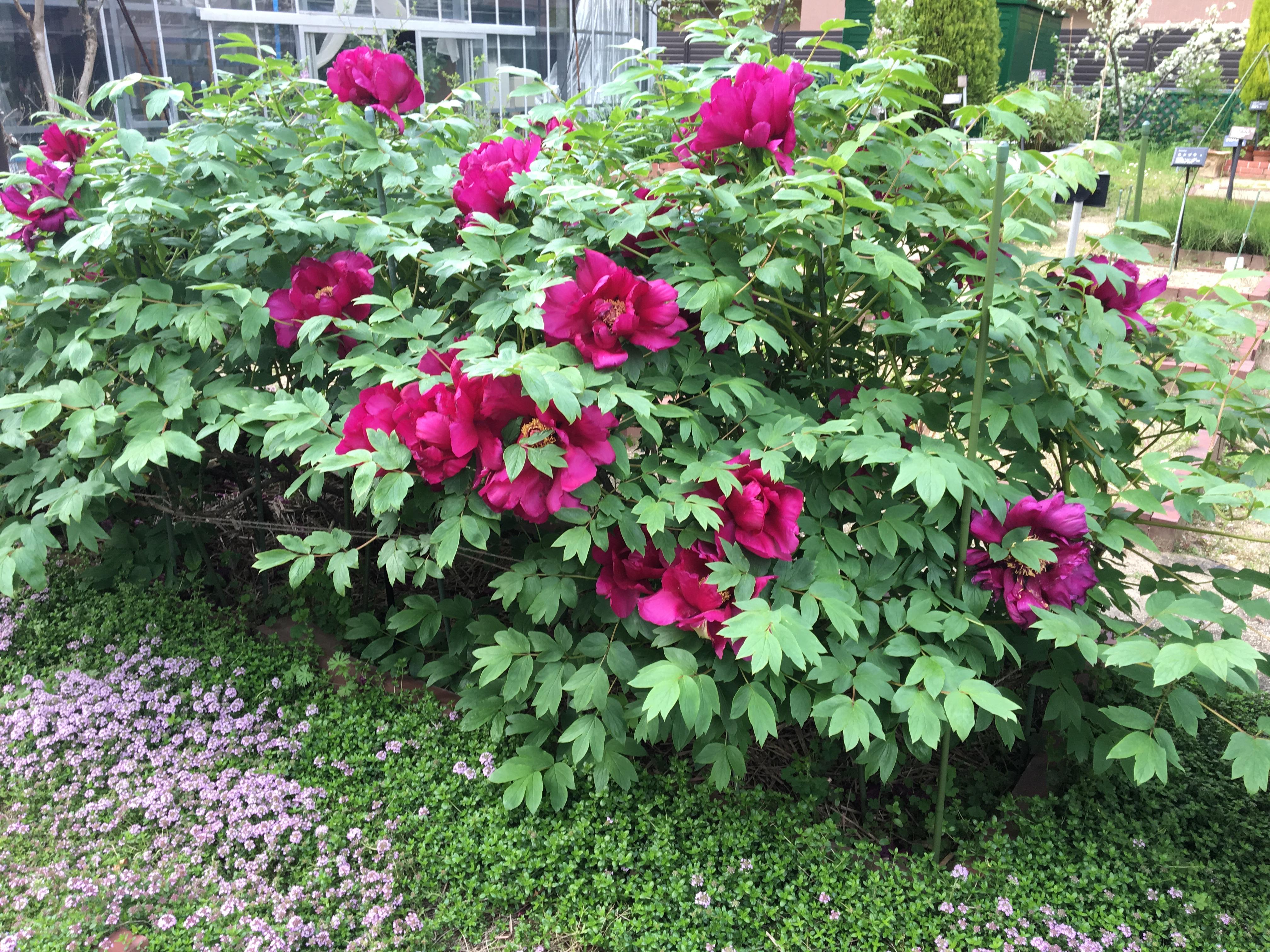 春らんまんの薬用植物園は良い香りがしますよ。